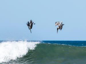 IG-pelicans-5454