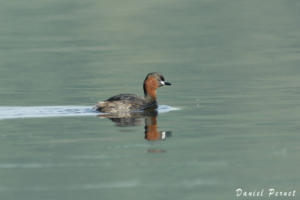 pernet-grebe-castagneux